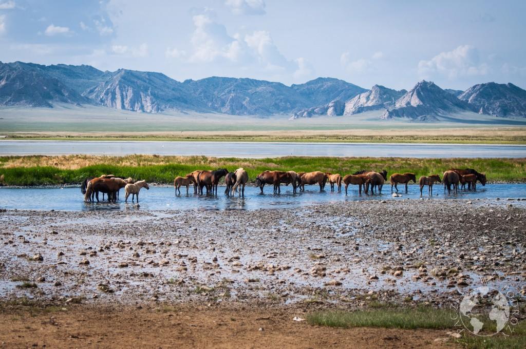 Dziki koń, stepy mongolskie