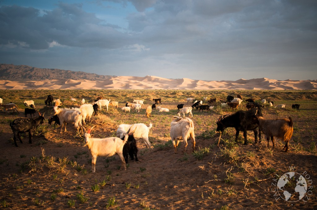 kozy na pustyni Gobi, wydmy Khongoryn Els, Mongolia