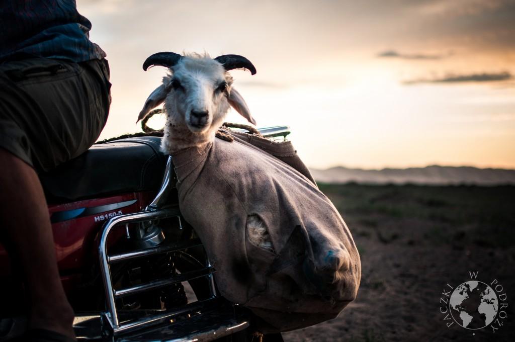 Koza na pustyni Gobi, Khongoryn Els, Mongolia