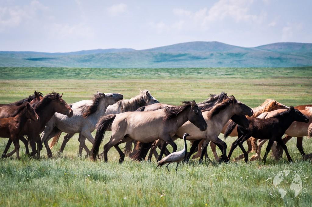 Dziki koń na stepie, Mongolia