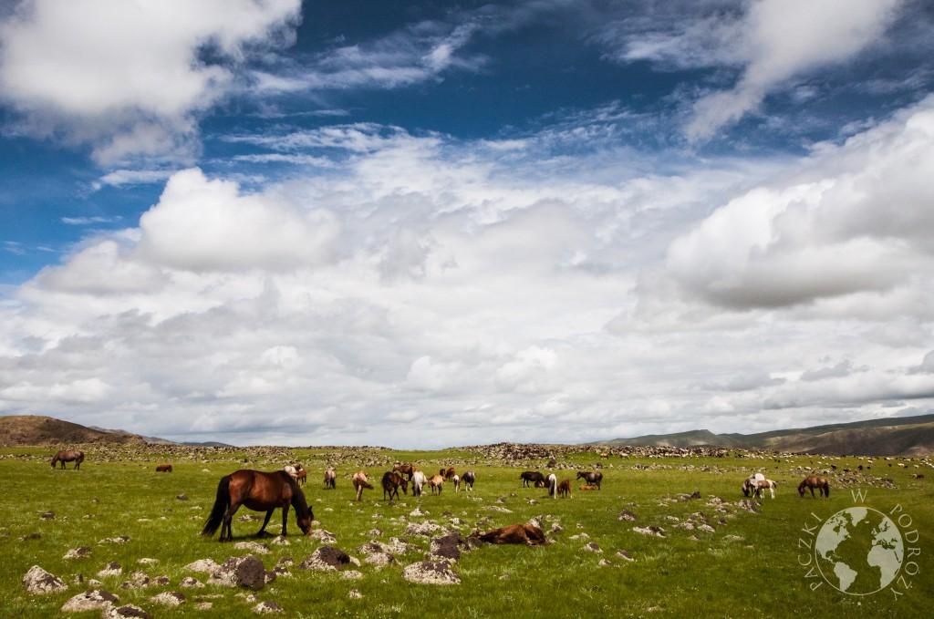 Dzikie konie na stepie, Mongolia