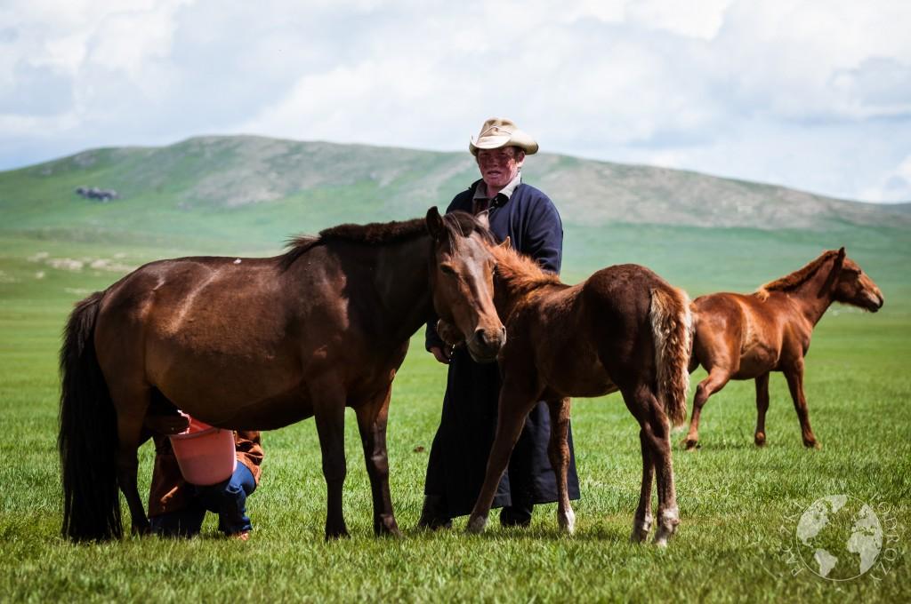 Dojenie klaczy na stepie w Mongolii