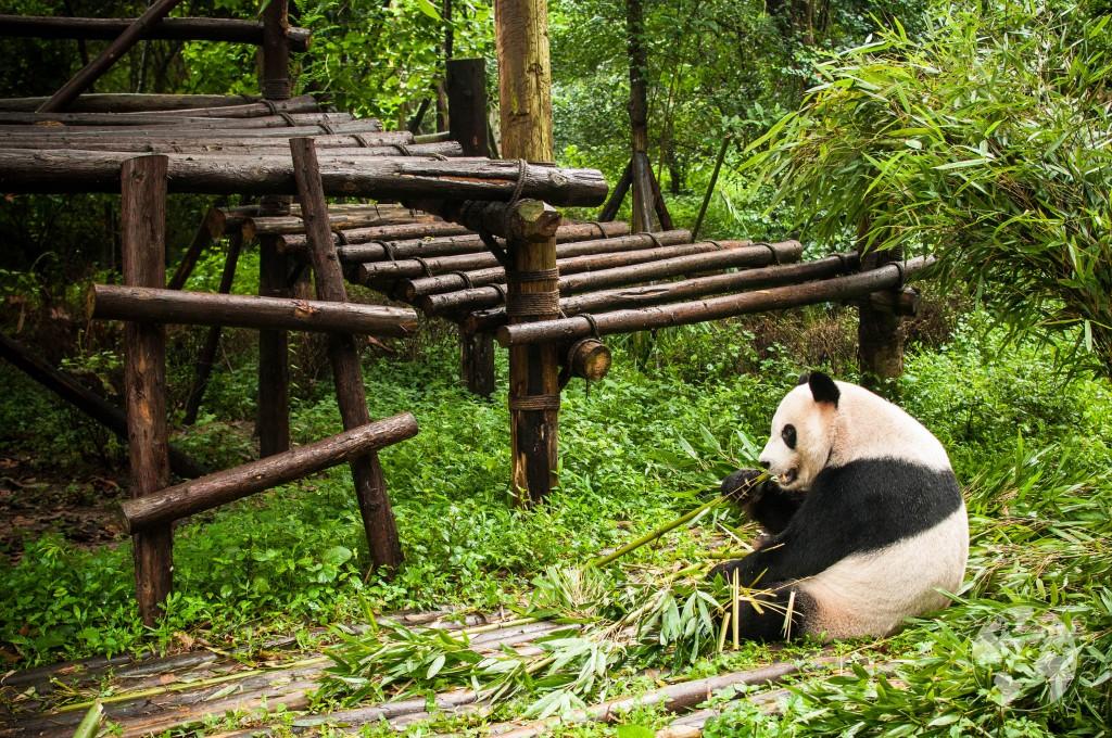 Rezerwat pand w Chengdu, Chiny