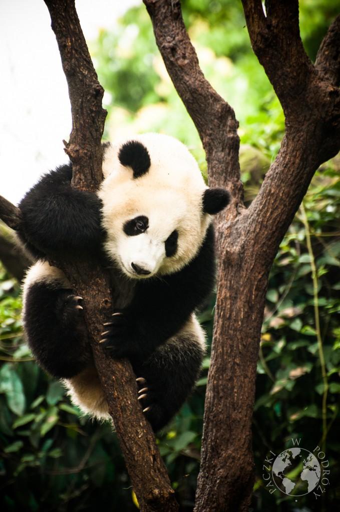 Panda Wielka w Chengdu, Chiny