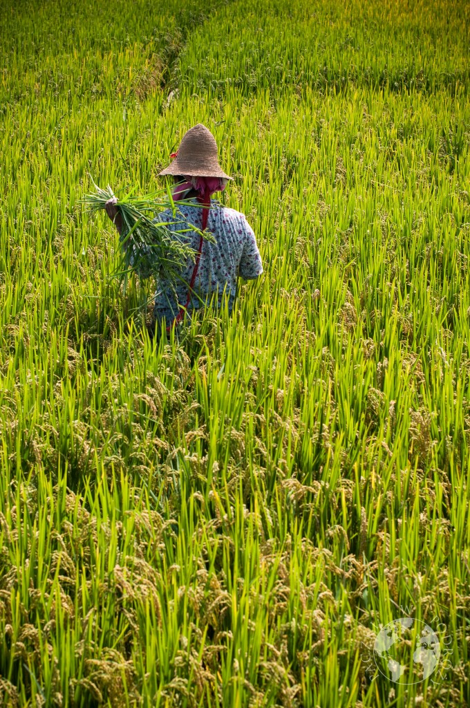Pola ryżowe, Dali, Yunnan, Chiny