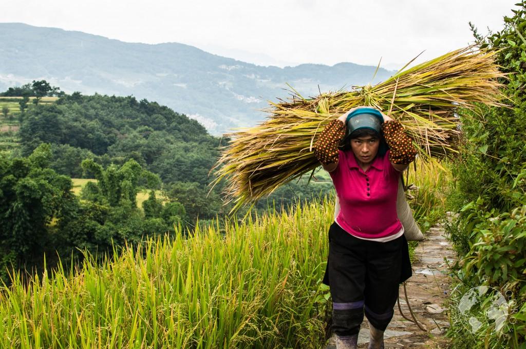 Tarasy ryżowe, Yuanyang, Chiny
