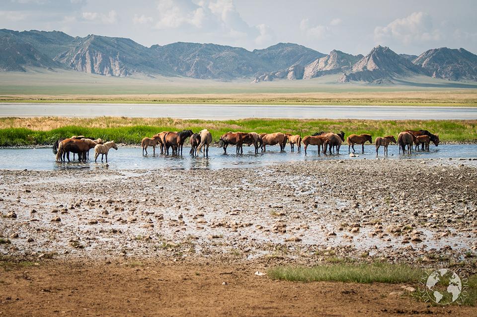 Dzikie konie, gdzieś w stepie, Mongolia