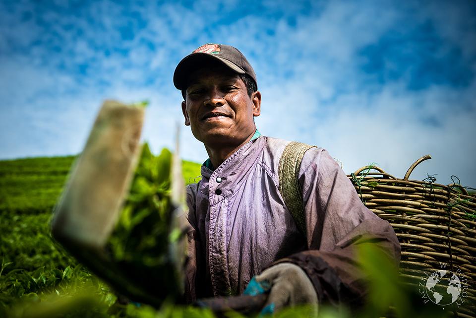 Zbieracz herbaty, Cameron Highlands, Malezja