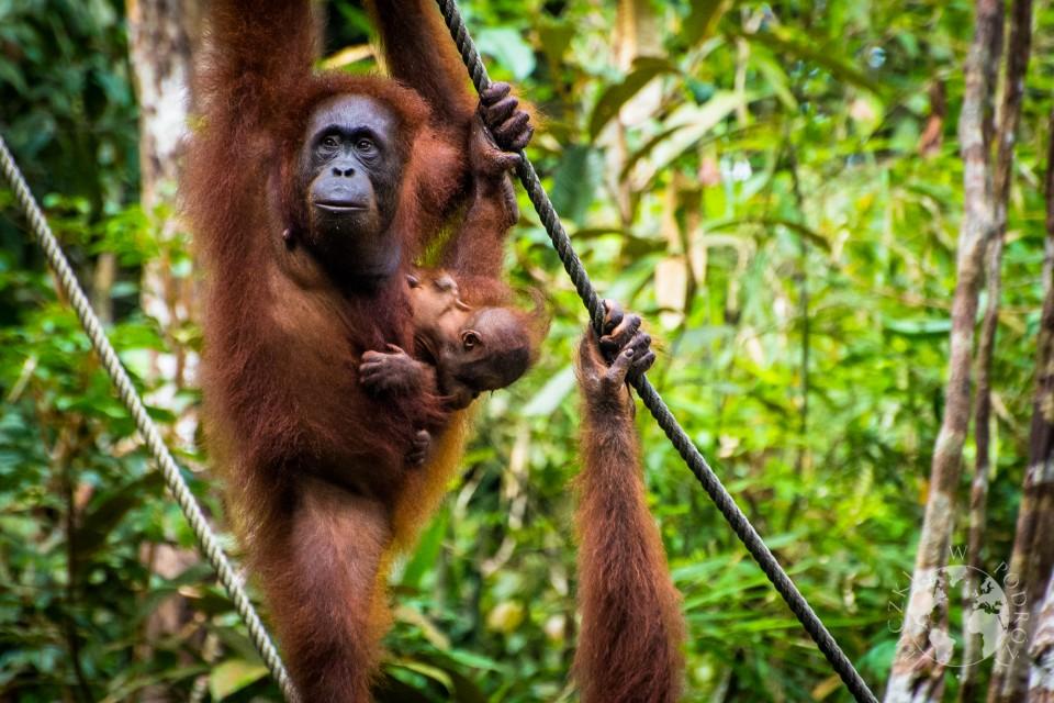 orangutan-3